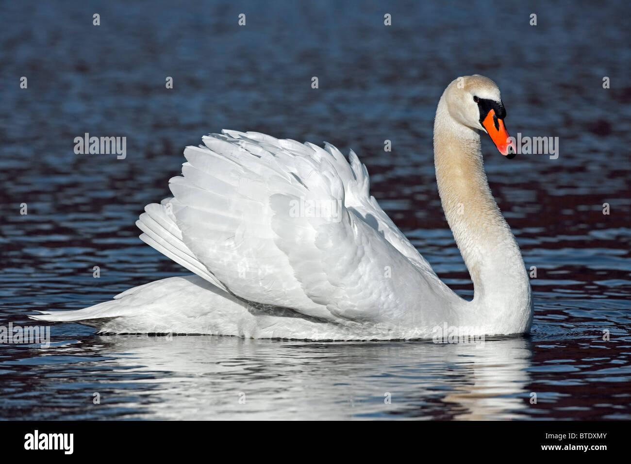 Cisne (Cygnus olor) en el lago mostrando busking amenaza pantalla, Alemania Imagen De Stock