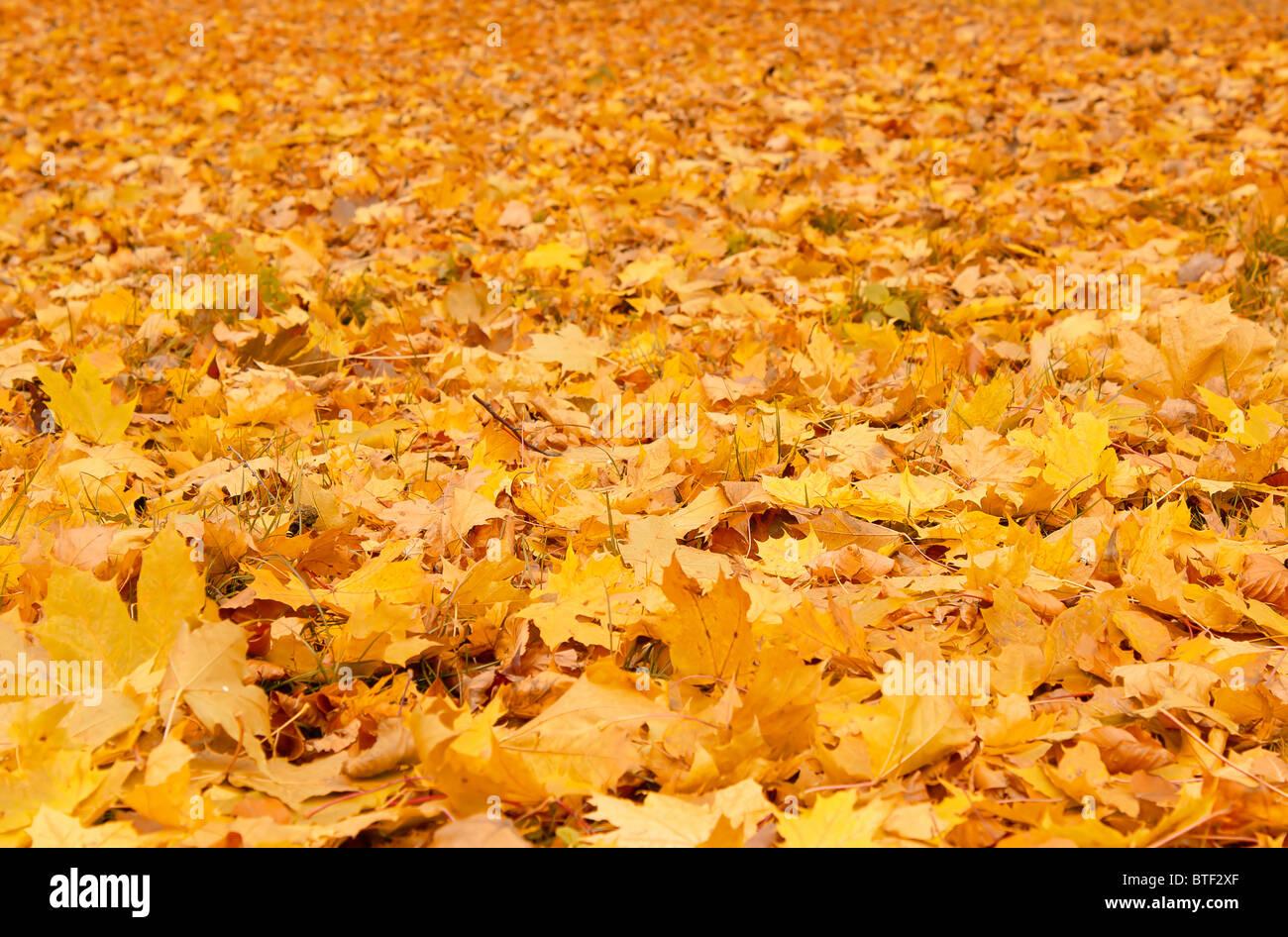 Caen las hojas en otoño de color naranja en el suelo Imagen De Stock