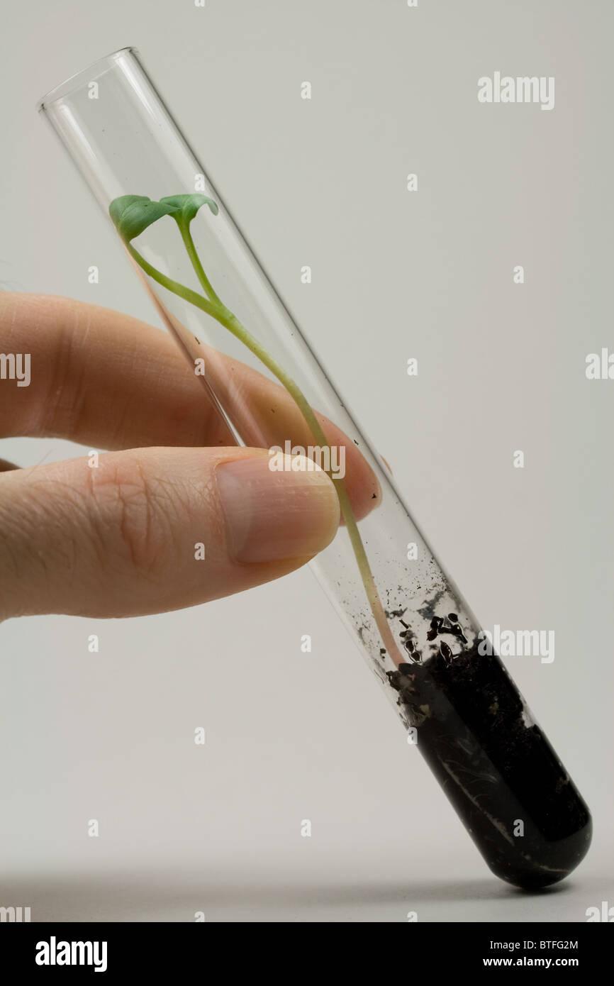 Semilla de rábano brotando en tubo de ensayo Imagen De Stock