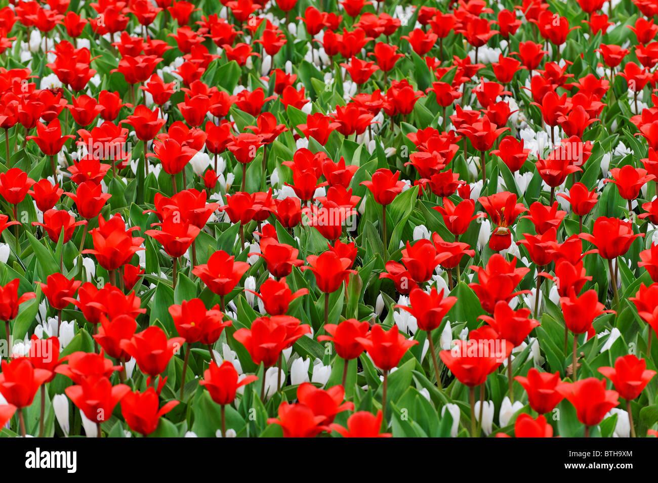 Los Tulipanes En Flor En Los Jardines Keukenhof En Holanda