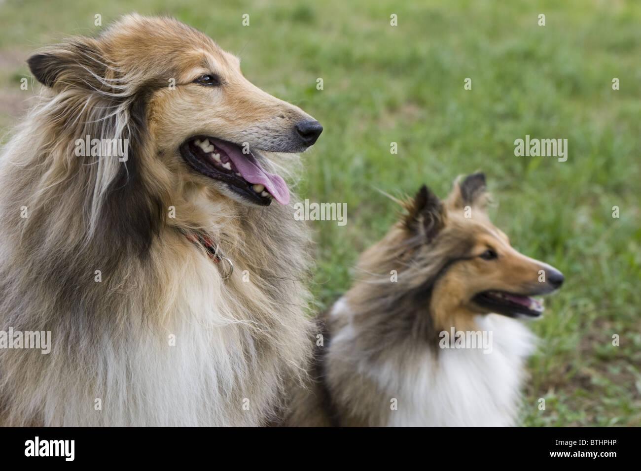 También llamado Long-Haired Rough Collie Collie, un largo revestido de raza de perro de tamaño mediano Imagen De Stock