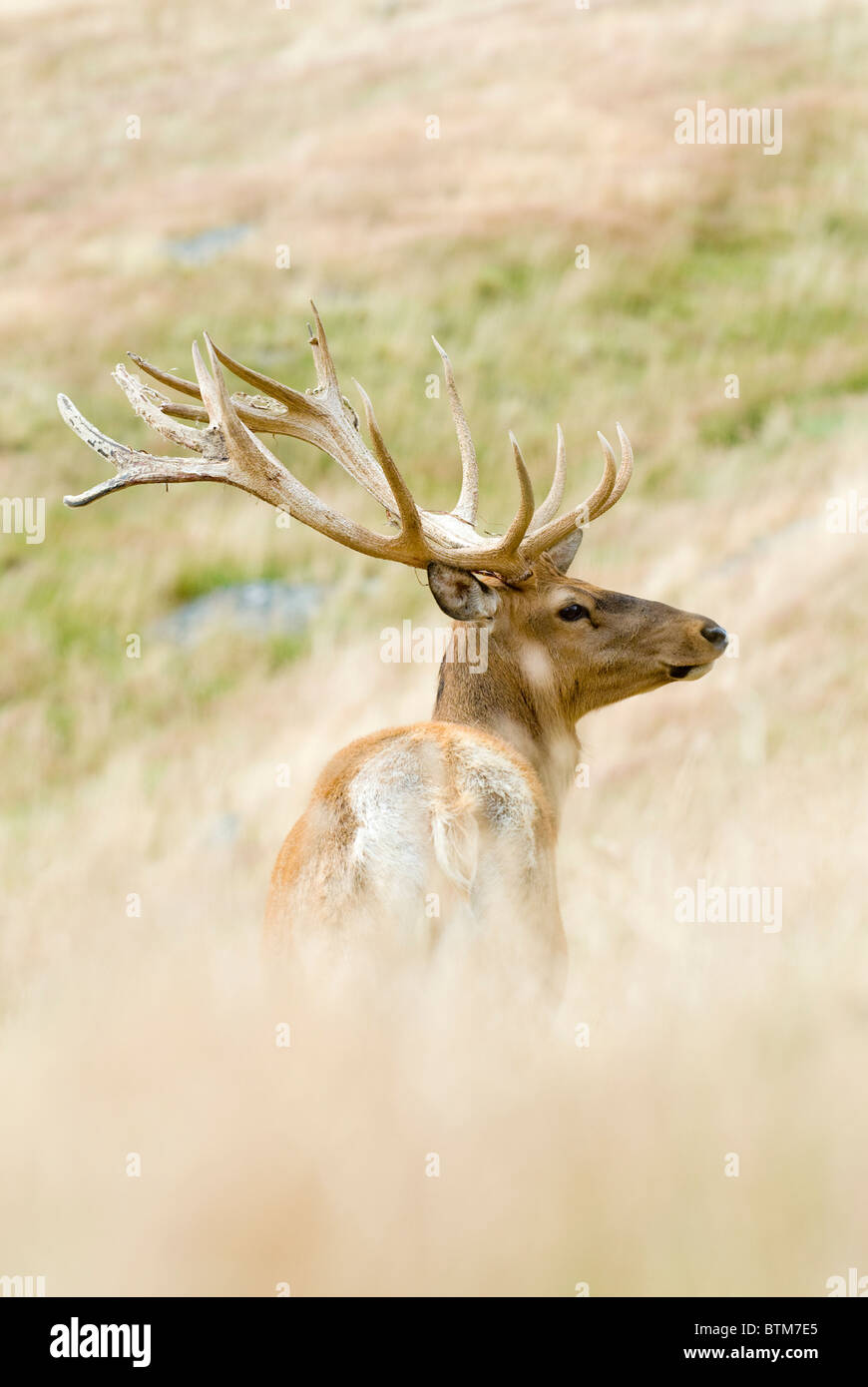 Ciervo rojo Cervus elaphus Imagen De Stock