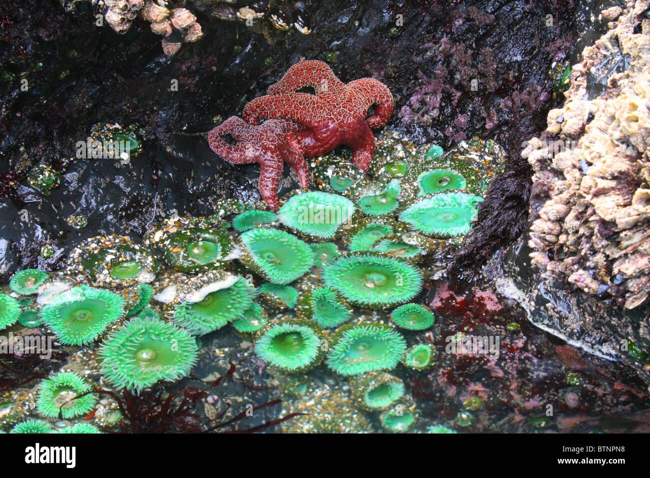 Piscina de marea de Oregon vida, Océano Pacífico, Seal Rock, Oregon. Starfish, anémona de mar, mejillones, percebes de bellota en una roca bajo el agua. Foto de stock
