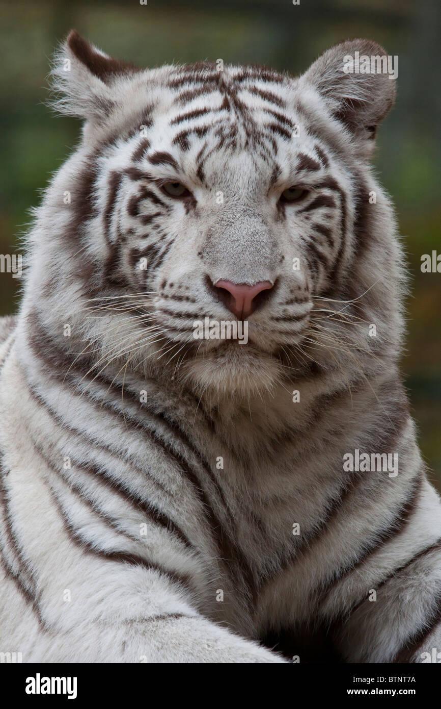Tigre blanco vertical Imagen De Stock