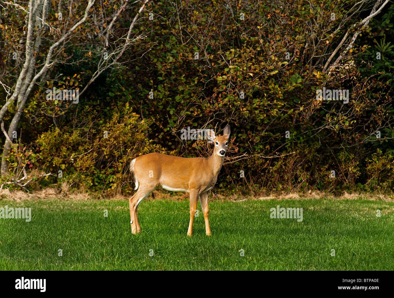Alerta el venado de cola blanca, Maine, EE.UU. Imagen De Stock
