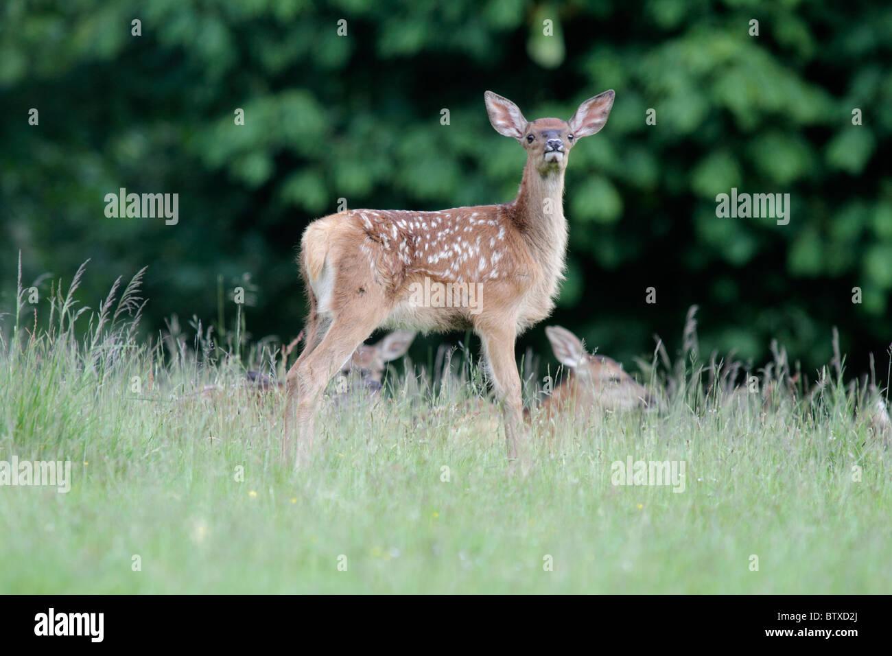 Ciervo rojo (Cervus elaphus), leonado o becerro sobre alerta, Alemania Imagen De Stock