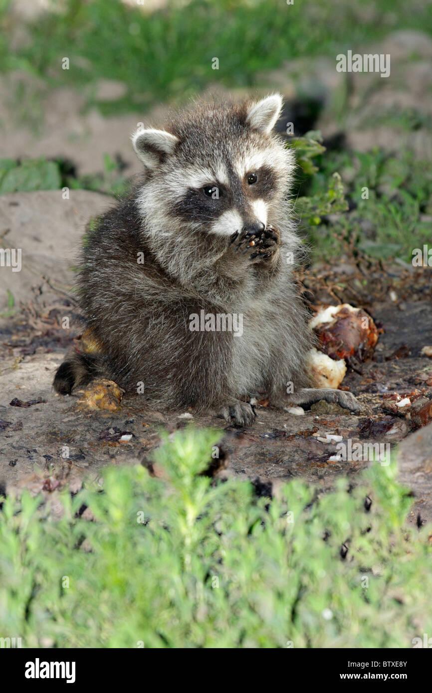 Mapache (Procyon lotor), el bebé la alimentación de los animales en el suelo, Alemania Imagen De Stock