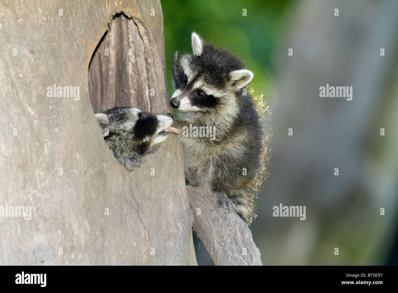 Mapache (Procyon lotor), dos crías de animales jugando en den entrada, Alemania Imagen De Stock