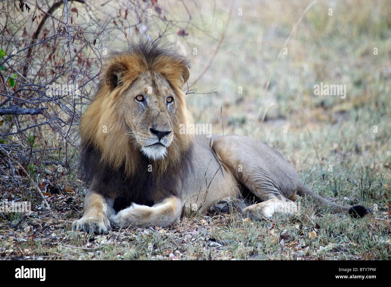 León africano macho ( Panthera leo ) Parque Nacional Saadani Tanzania Imagen De Stock
