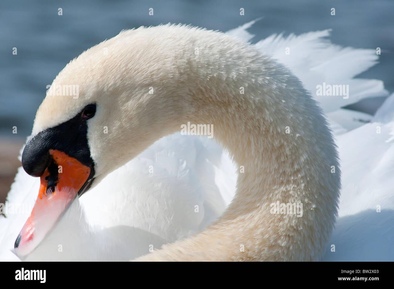 Tímidos buscando un cisne Imagen De Stock