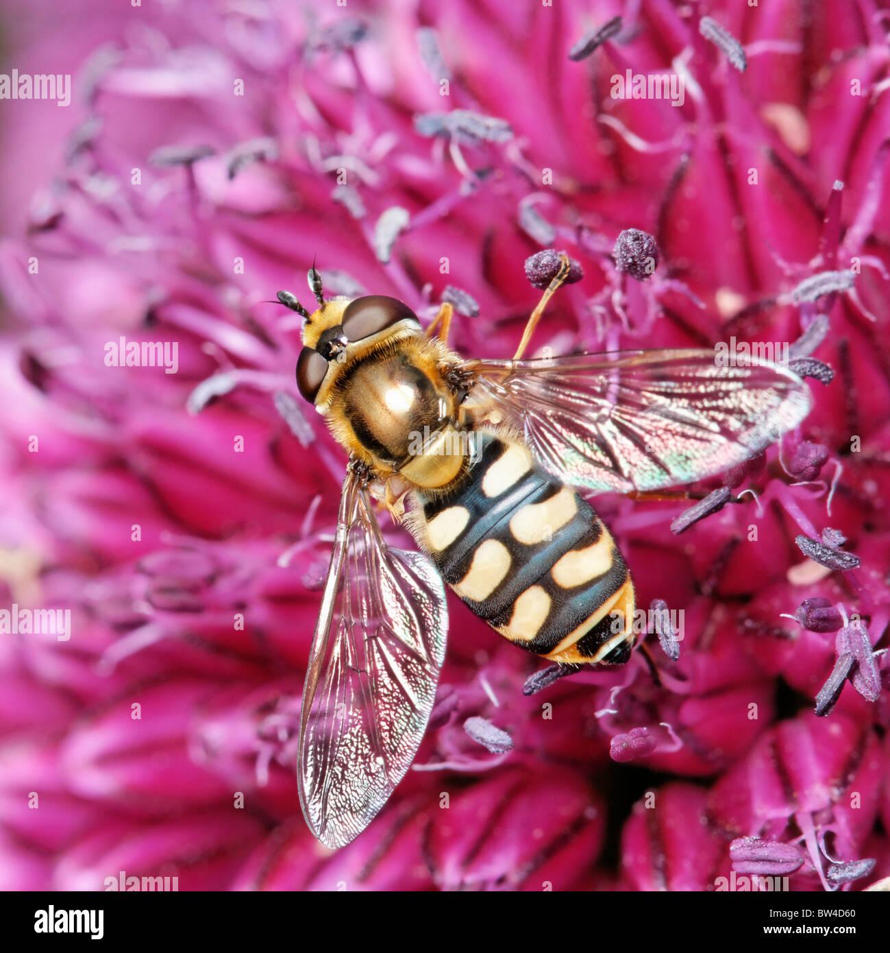 Una hembra Hoverfly Allium alimentarse de una flor. Posiblemente Eupeodes corollae, una vez llamada Metasyrphus Imagen De Stock