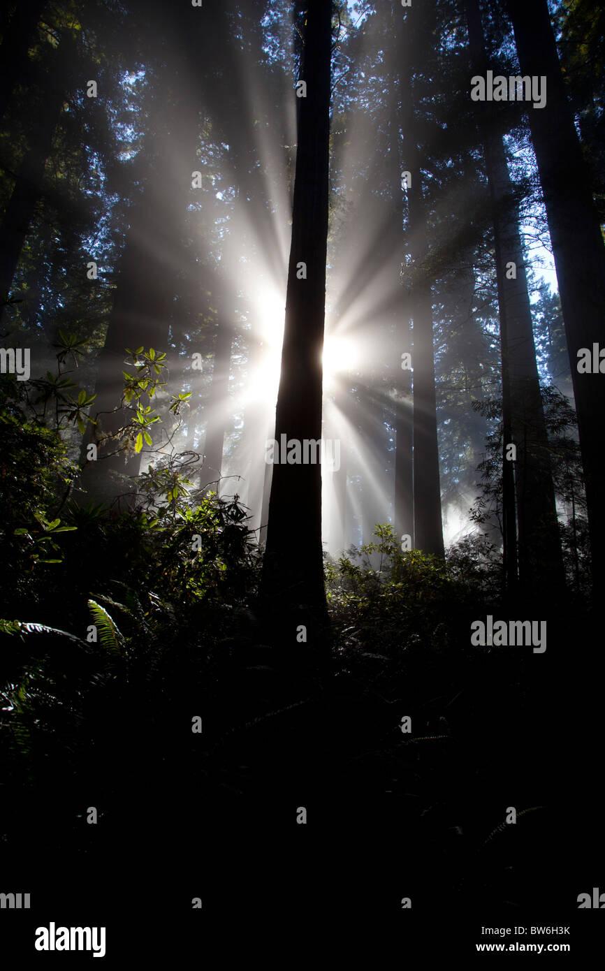 Los rayos de sol en Redwoods Foto de stock