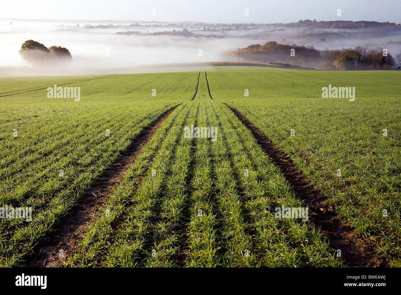 Misty mañana vista de Chorlitejo campiña recientemente plantados con campo de trigo de invierno en otoño valle Kent UK Foto de stock