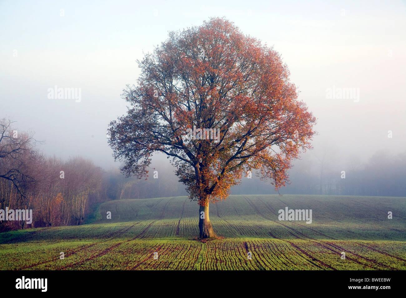 Roble en otoño hojas de color dorado sobre Misty mañana en campo de trigo Recién cosido en el Weald de Kent, Reino Unido Foto de stock