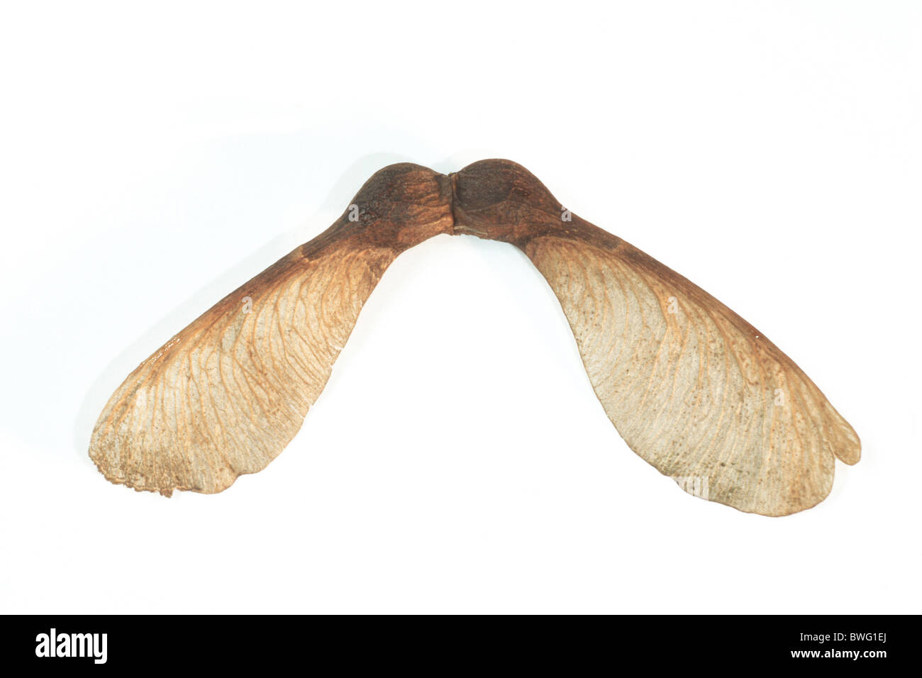 Sicomoro sicomoro, el arce (Acer pseudoplatanus), el arce clave, studio picture. Foto de stock