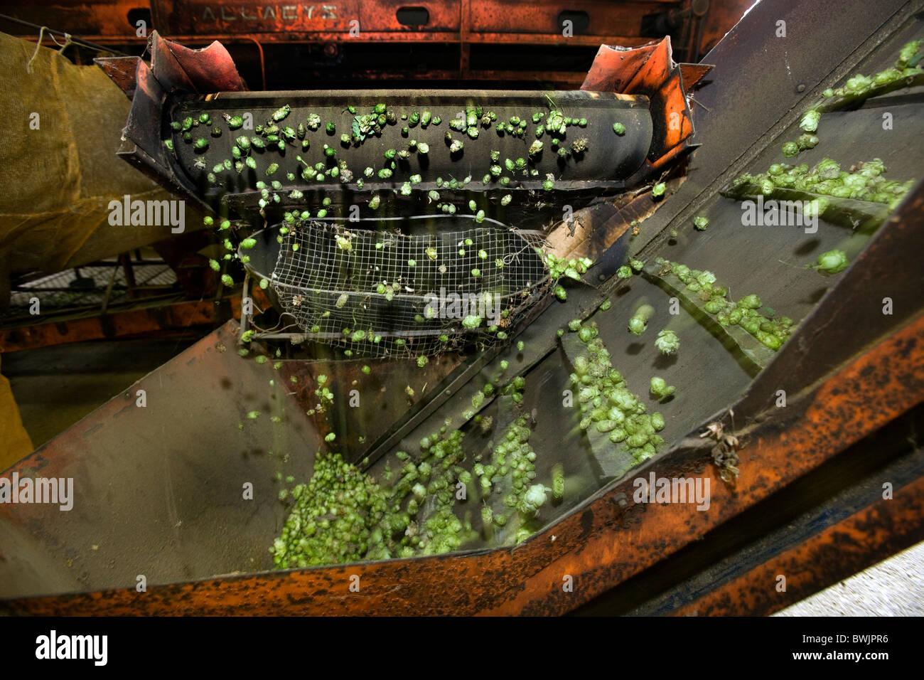 La producción de lúpulo (Humulus lupulus), Poperinge, Bélgica Imagen De Stock