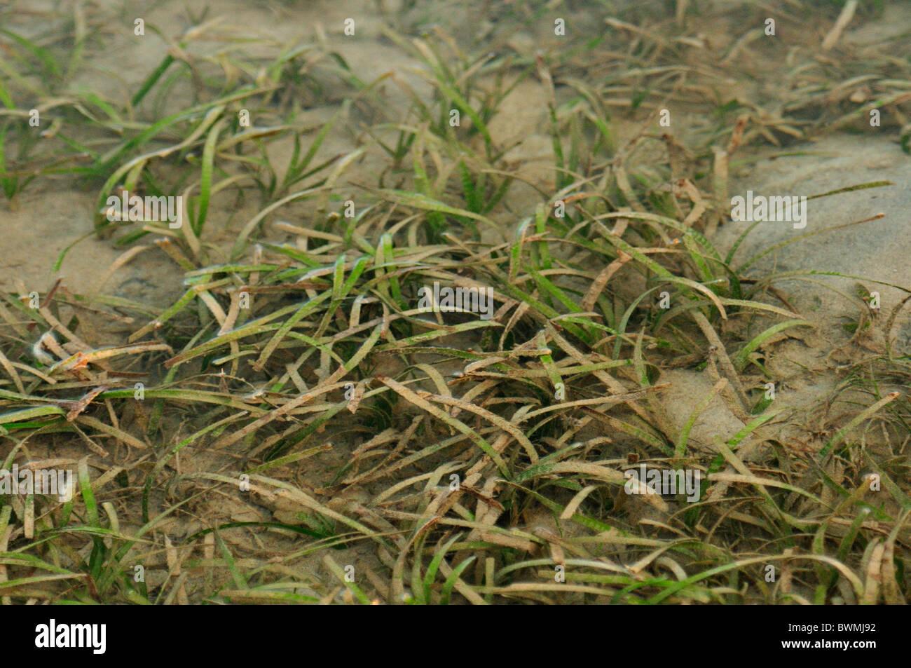 Cinta dentada Cymodocea serrulata, Potamogetonaceae pastos marinos, los manglares de la bahía de playa Munjangan, Imagen De Stock
