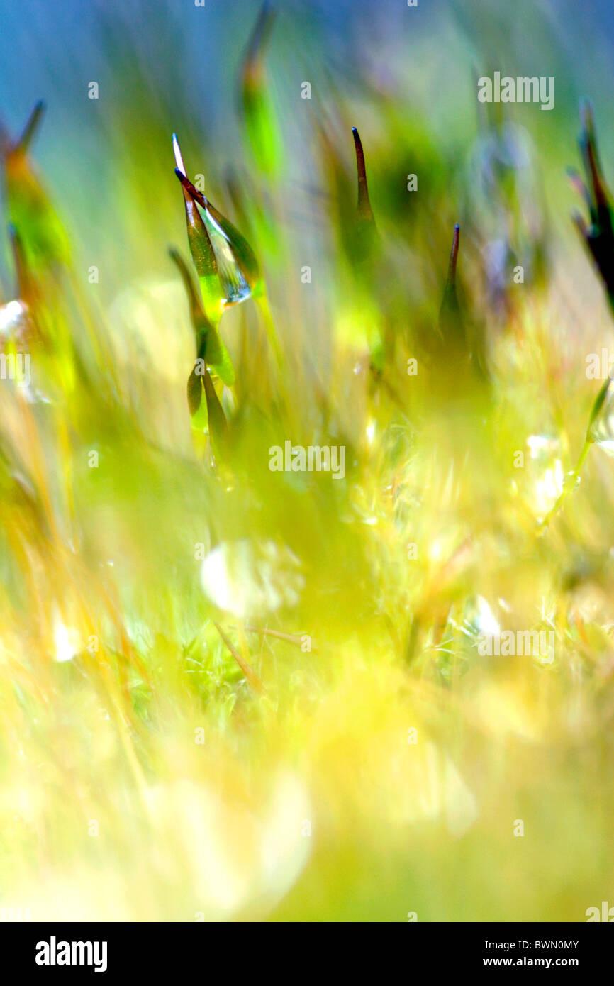 Tornillo de pared moss (Tortula muralis) con esporas de cerca, Inglaterra, Reino Unido. Foto de stock