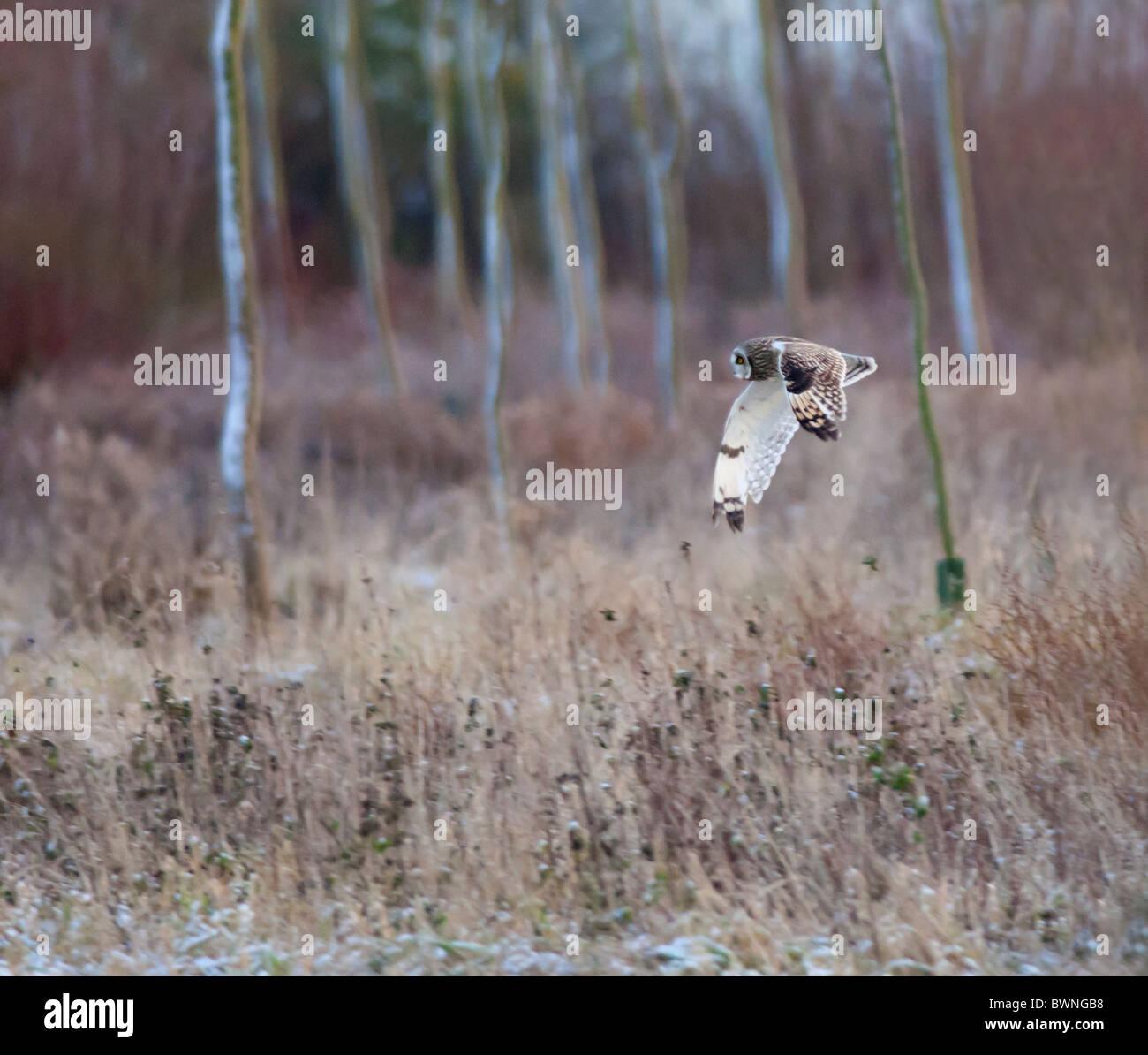 Búho de orejas cortas de caza silvestre sobre agrestes praderas en Leicestershire Imagen De Stock