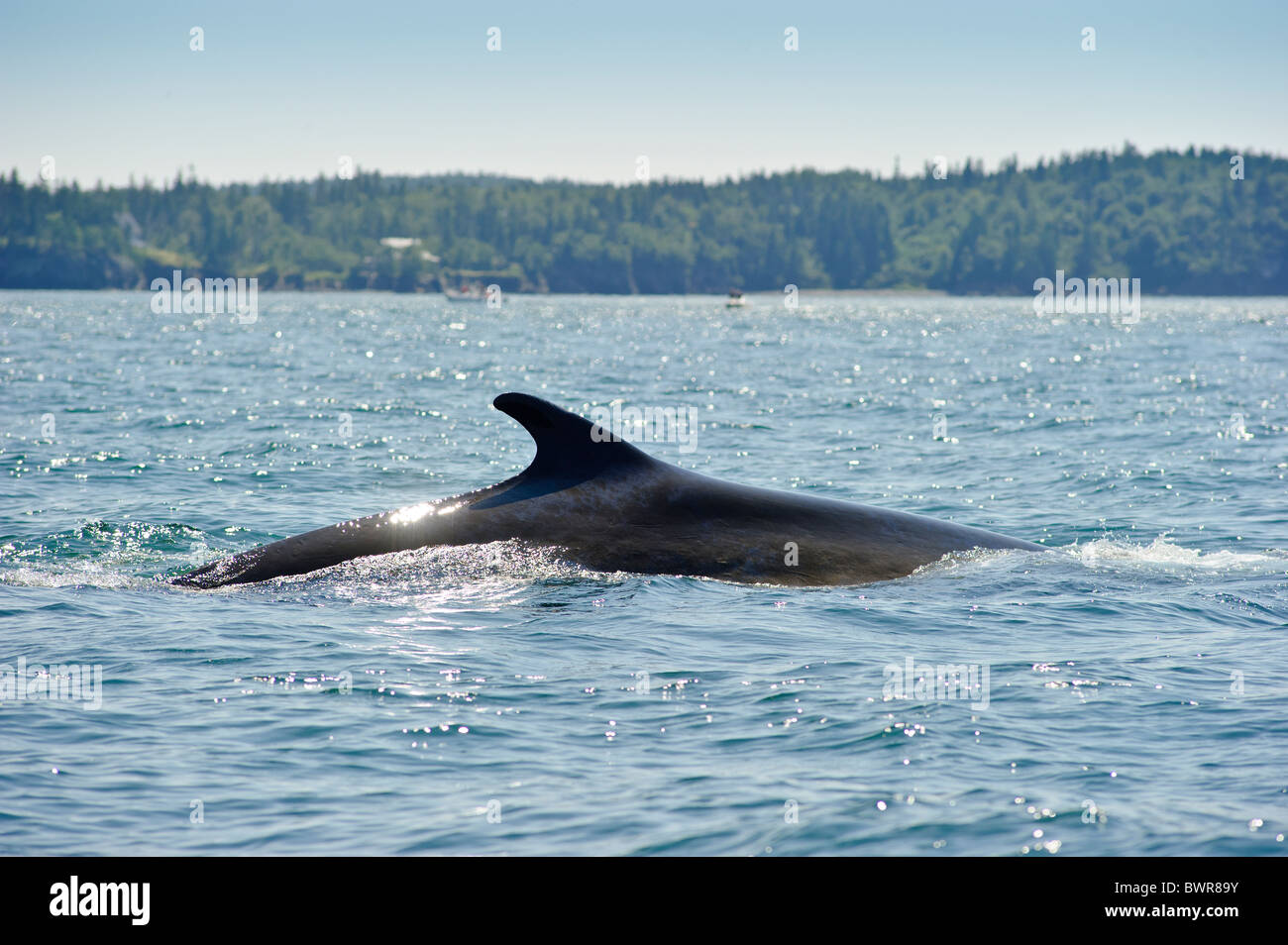 Rorcual común bahía de Fundy Foto de stock