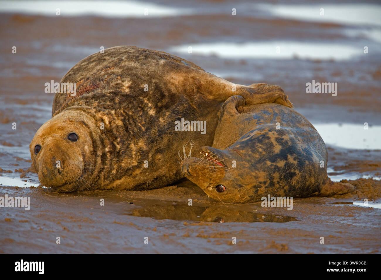 Focas grises (Halichoerus grypus) - REINO UNIDO - Acoplamiento macho y hembra en la playa Foto de stock