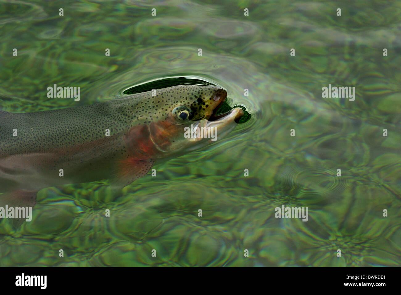 La trucha arco iris, Oncorhynchus mykiss, cautiva Imagen De Stock