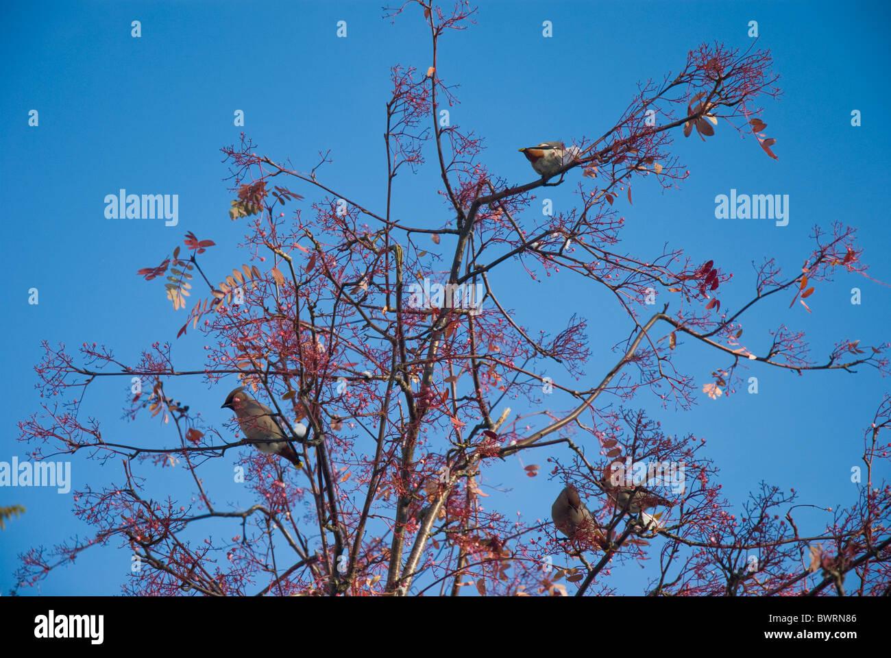 Waxwings comer bayas en un árbol en Cumbria Imagen De Stock