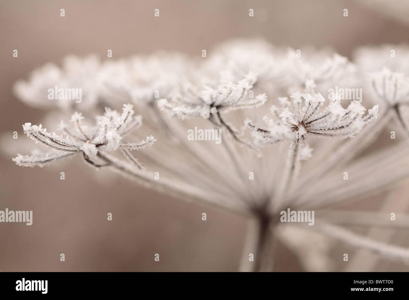Angelica sylvestris naturaleza salvaje entorno natural de flora y fauna ambiental powys europa Gales Gran Bretaña Imagen De Stock