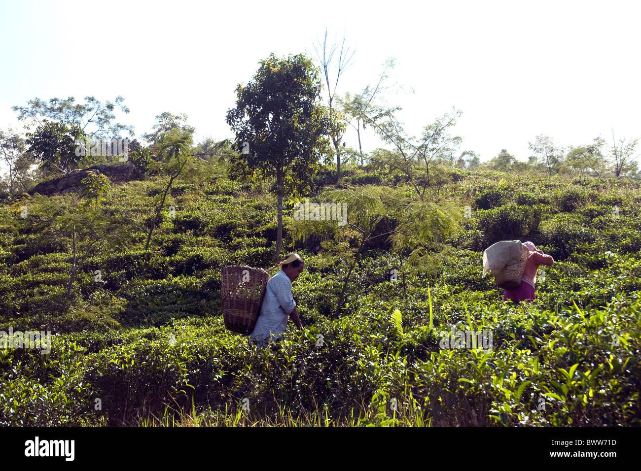 En extensas plantaciones de té Darjeeling cercano trabajadores pluck unas hojas frescas de cada arbusto Imagen De Stock