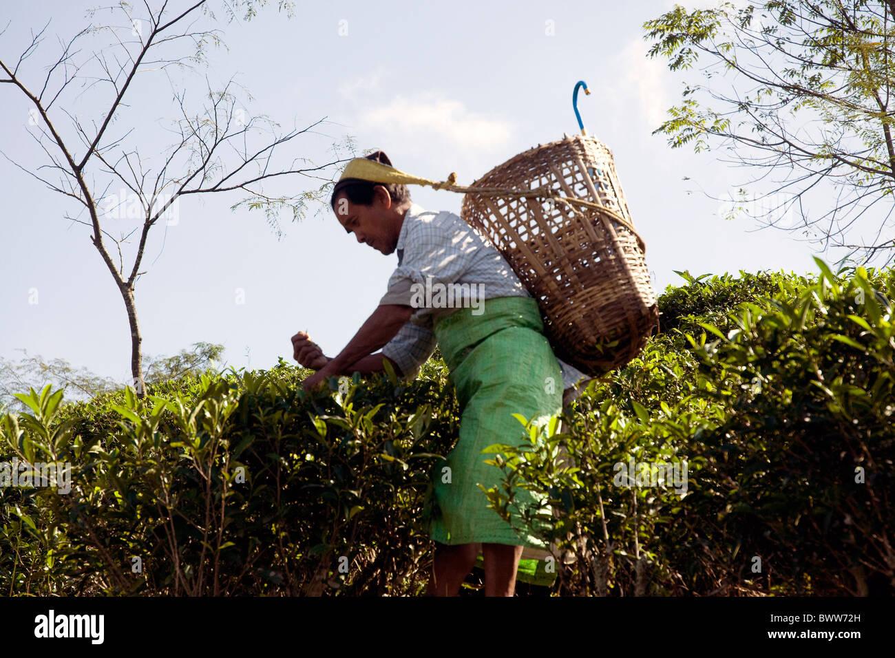 En extensas plantaciones de té Darjeeling cercano a los trabajadores unos pluck hojas frescas de cada arbusto Imagen De Stock