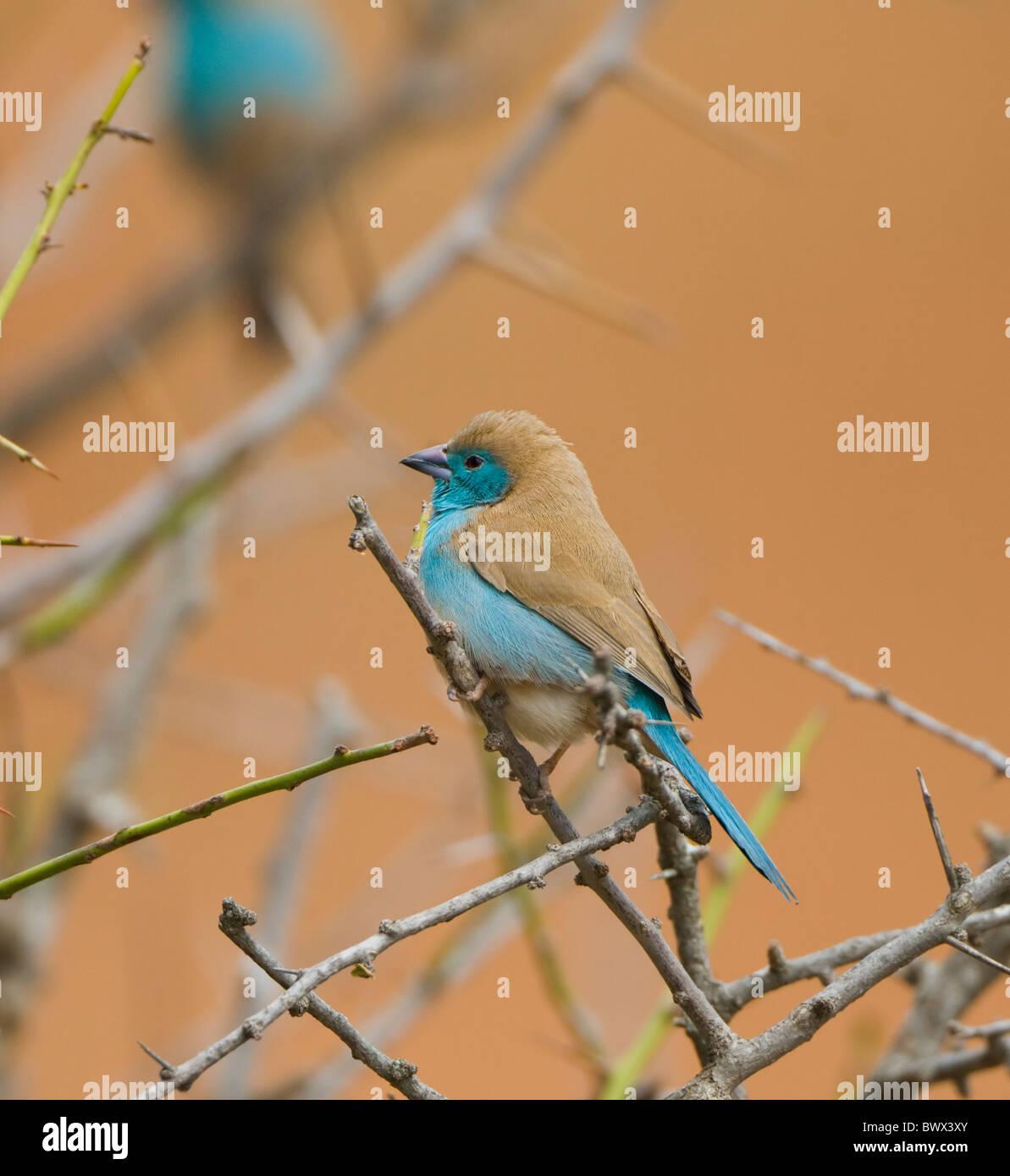 Azul Uraeginthus Waxbill angolensis Parque Nacional Kruger Sudáfrica Foto de stock