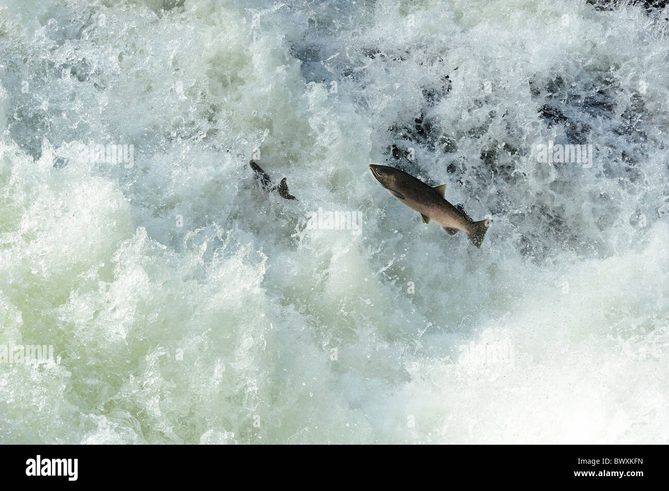 Salmón PLATEADO O COHO, Oncorhynchus kisutch, Río Sol Duc, Olympic National Park, Washington Foto de stock