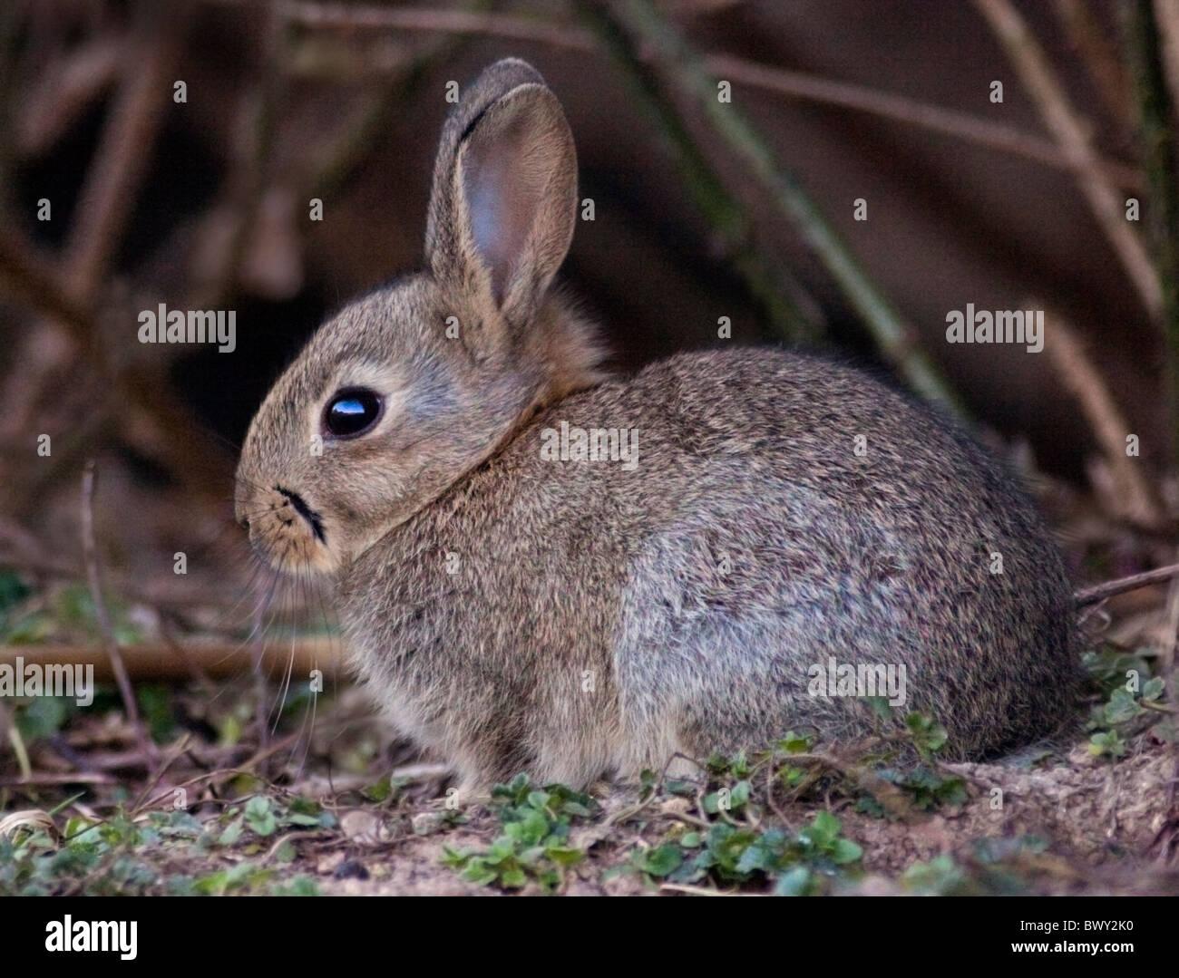 Baby Wild conejo europeo (Oryctolagus cuniculus) Imagen De Stock