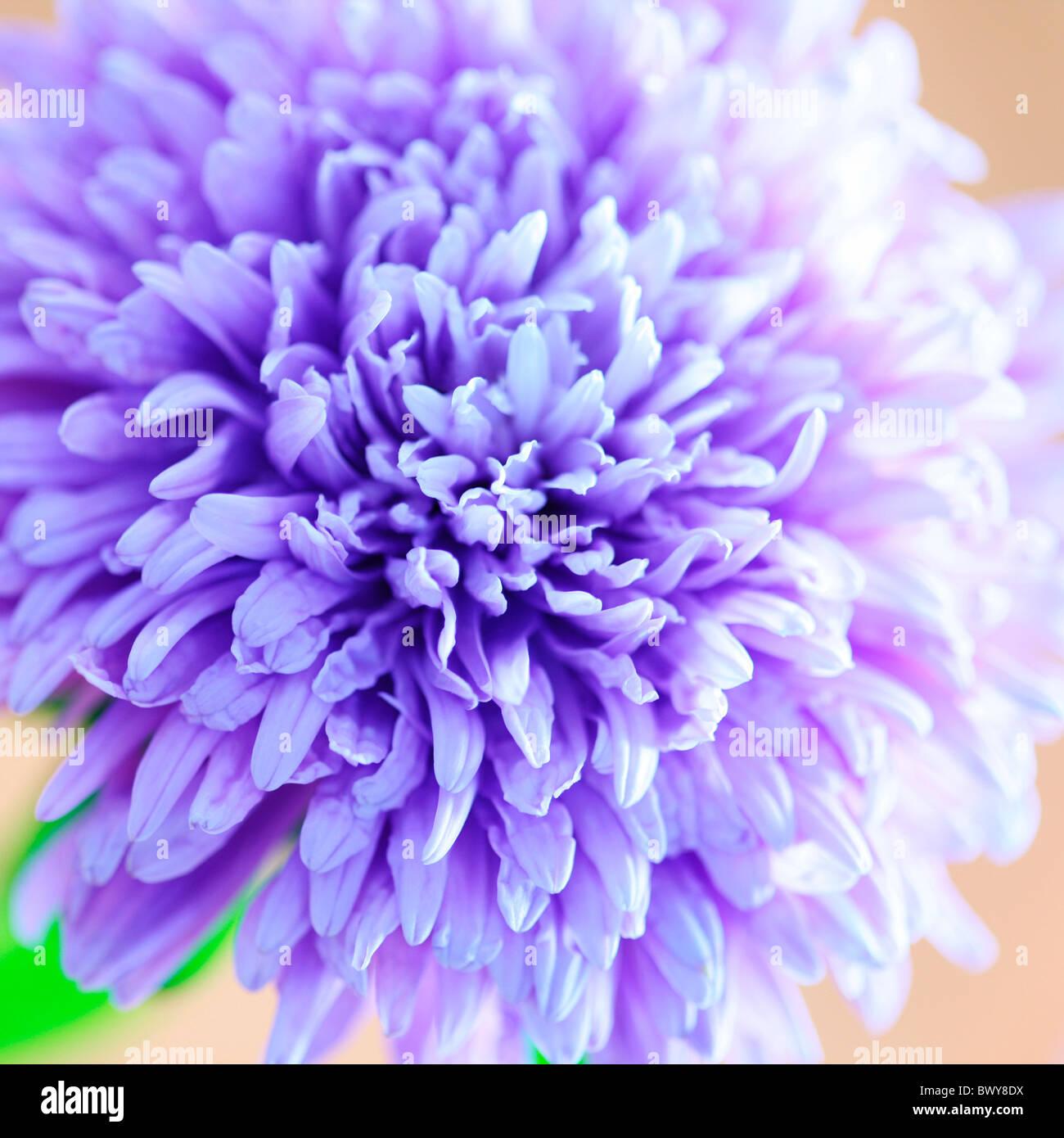 Precioso soft focus Azul lila aster en plena floración Jane-Ann Butler Fotografía JABP867 Imagen De Stock