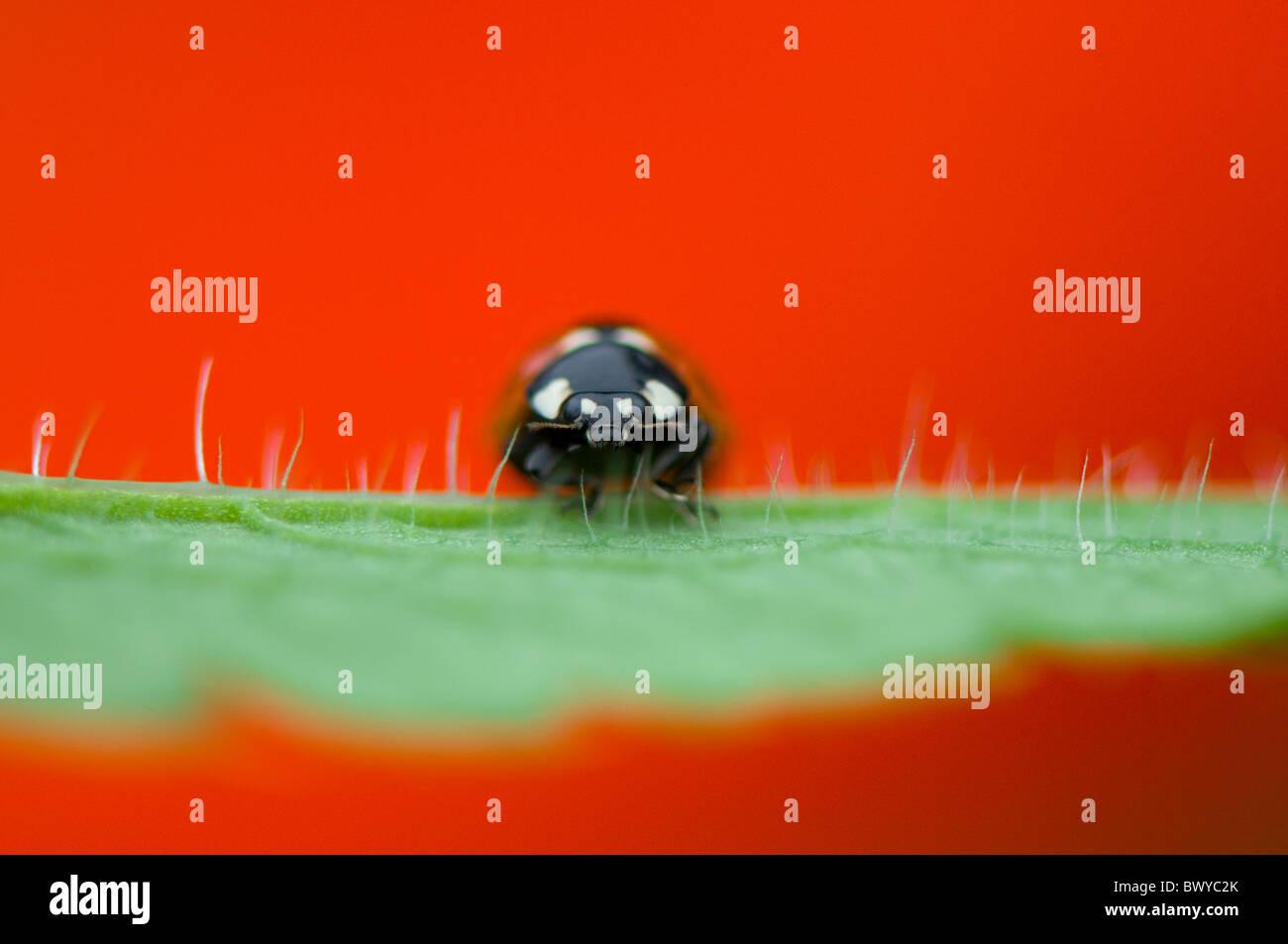 Cerca, imagen macro de una 7-spot mariquita - coccinella septempunctata descansando sobre el rojo vibrante pétalo Foto de stock