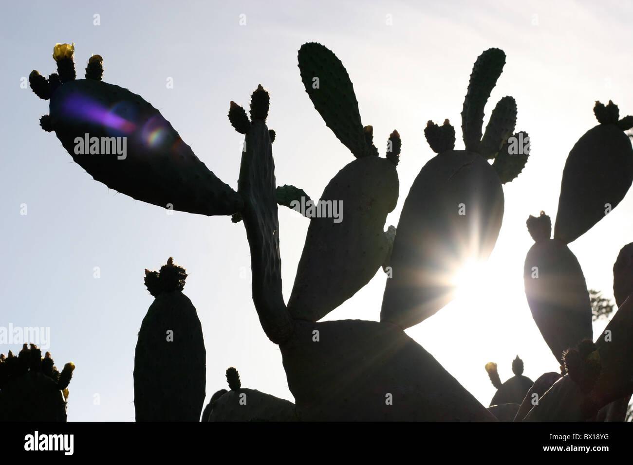 Cactus con el sol brillando detrás de ella Imagen De Stock