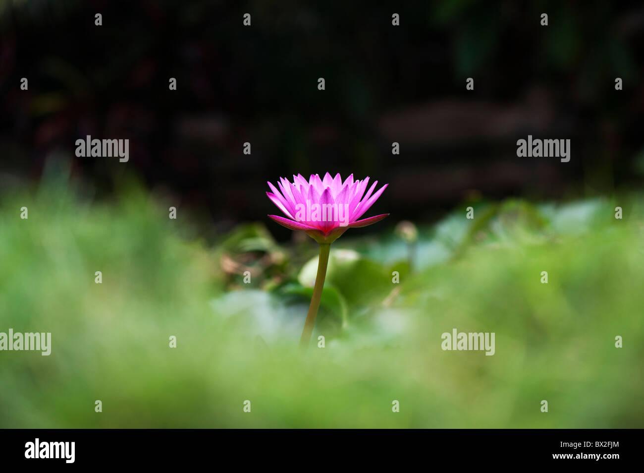 Nymphaea. Waterlily flor tropical en un estanque en la India. Profundidad de campo Foto de stock