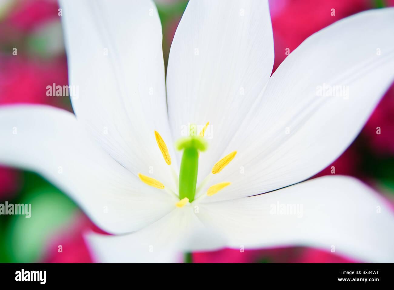 Primerísimo primer plano de un lirio blanco con fondo de color rosa Foto de stock