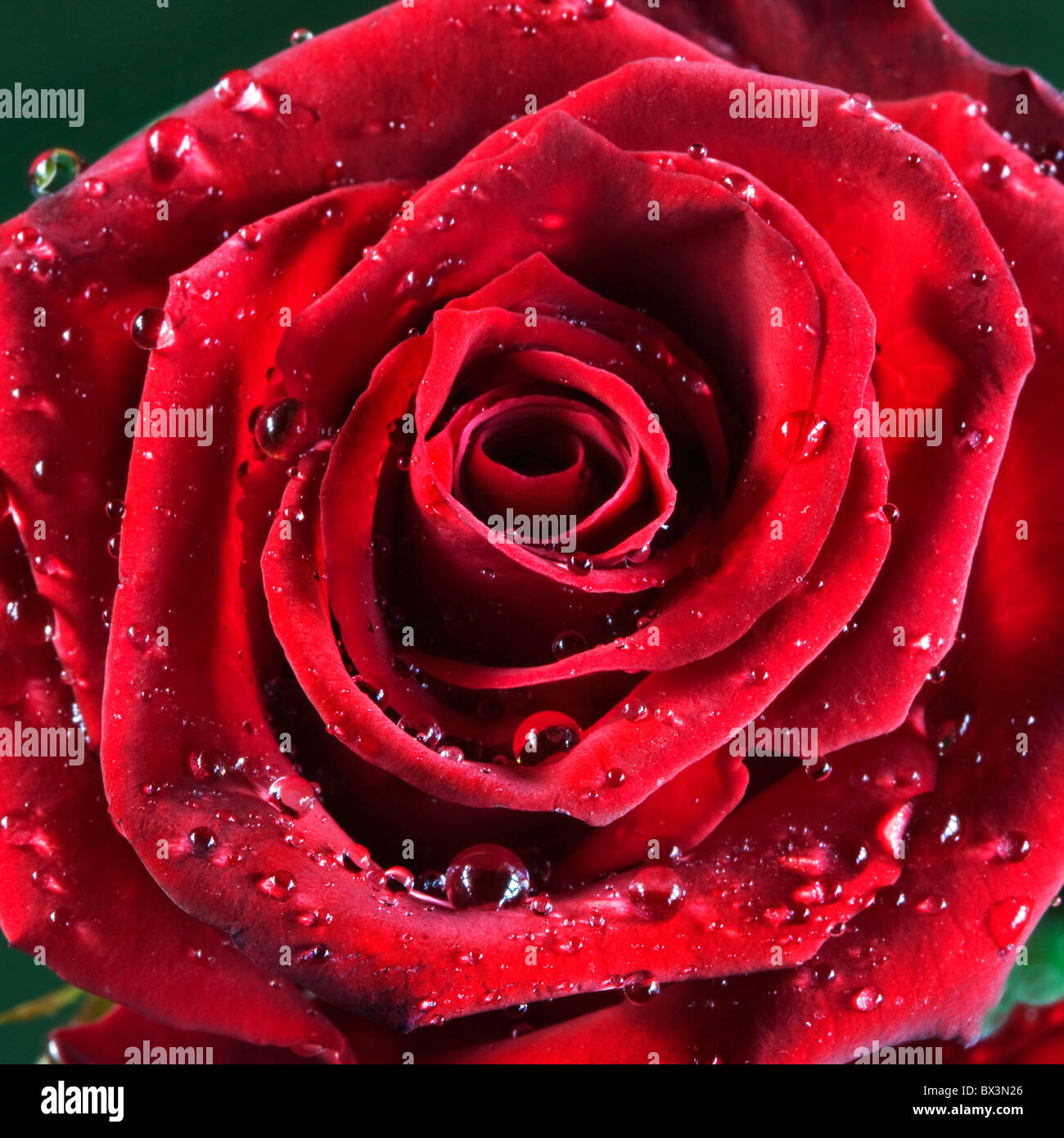 Rosa roja cubiertos de gotas de agua Imagen De Stock