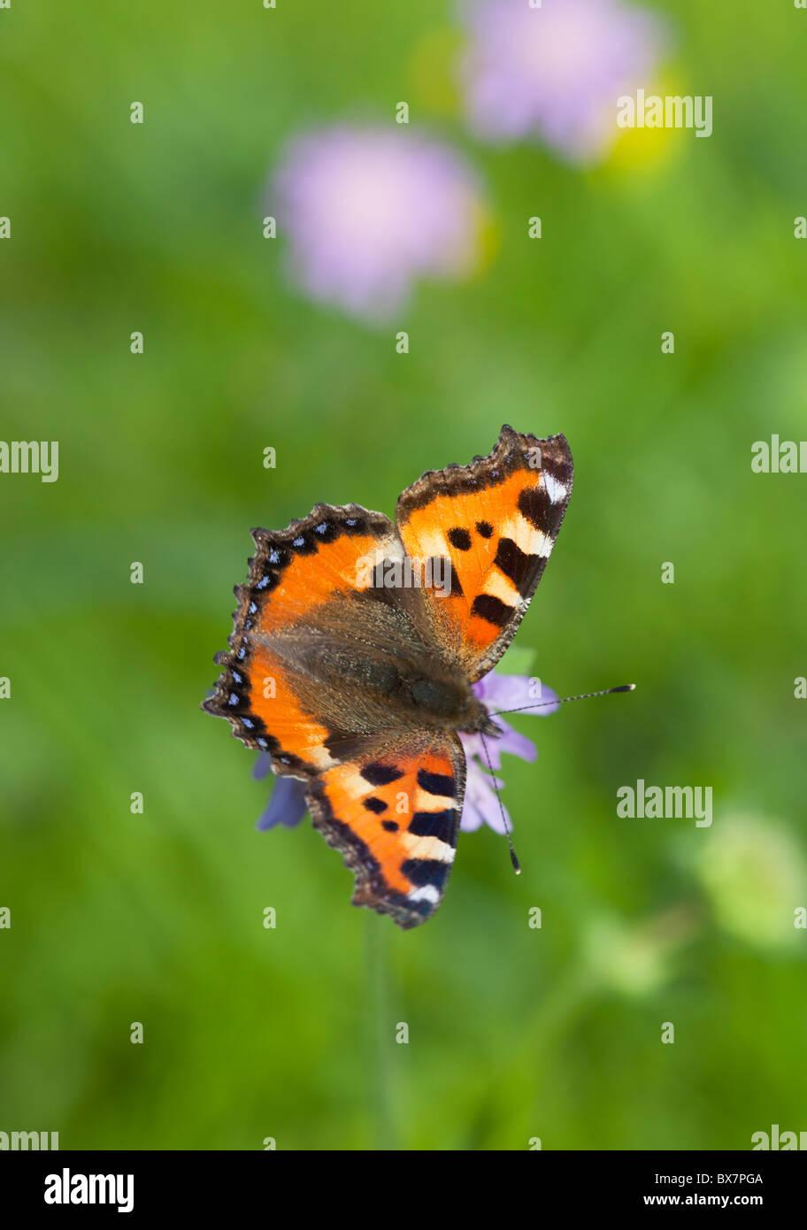 Pequeña tortoiseshell ( Aglais urticae , Nymphalidae , Nymphalinae ) mariposa chupar néctar de un thrift ( Armeria maritima ) , Finlandia Foto de stock