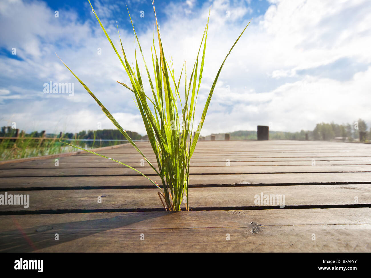 Pequeña hierba creciendo a través del puente de madera. Imagen De Stock