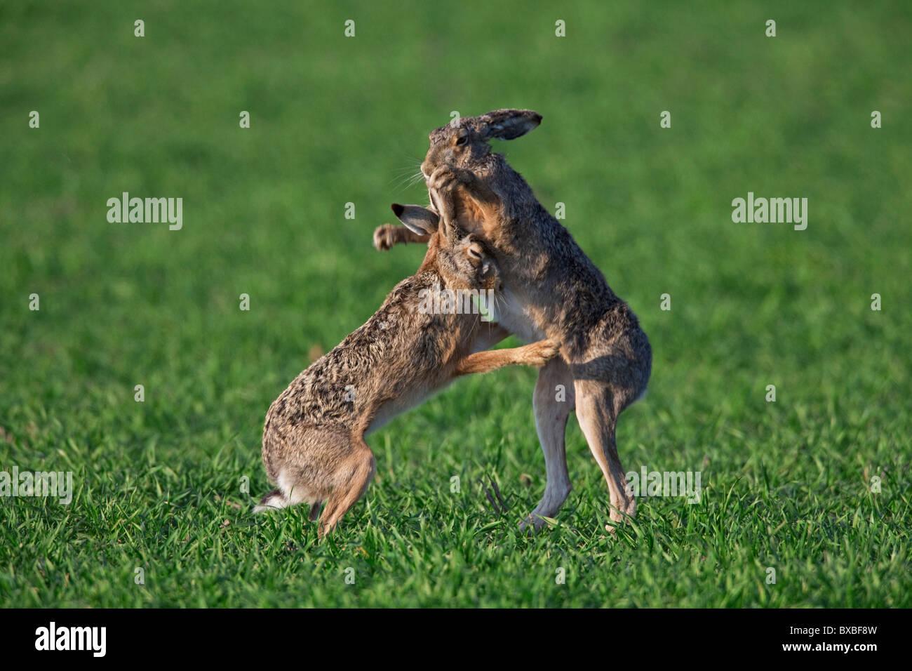 Pardo europeo liebres (Lepus europaeus) / boxeo combates en campo durante la temporada de cría, Alemania Imagen De Stock