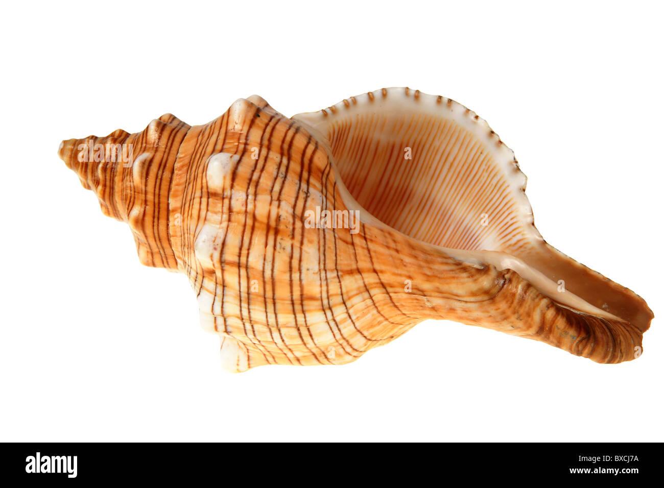 Concha grande de slug aislado en blanco (con trazado de recorte) Imagen De Stock