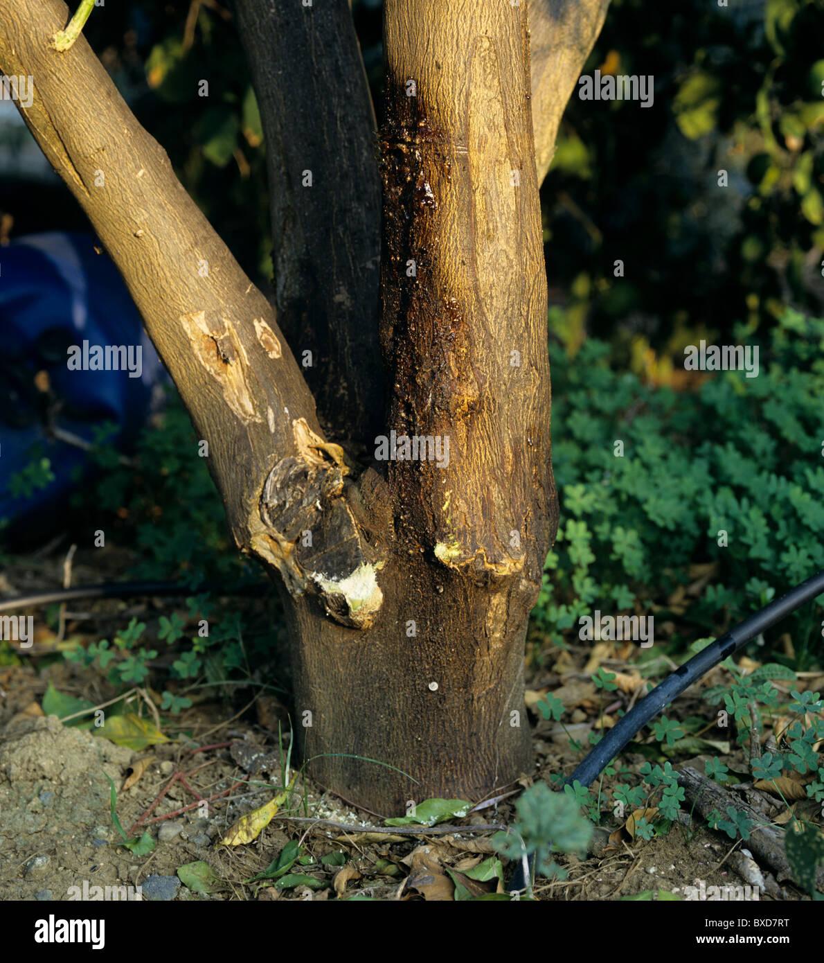 Tronco (gummosis Phomopsis citri) los síntomas de una infección de Lemon Tree, Sicilia Imagen De Stock