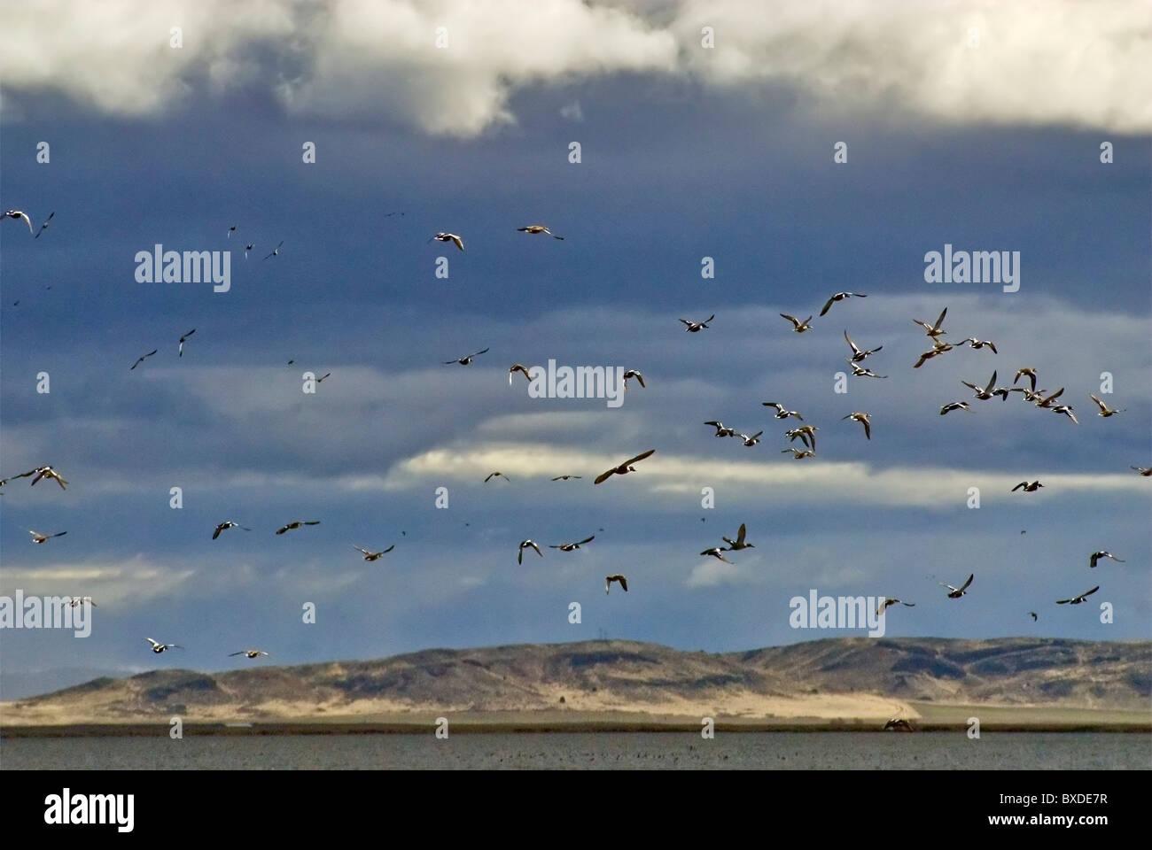 Vuelo de las aves en marzo a menor Klamath National Wildlife Refuge, California, EE.UU. Imagen De Stock