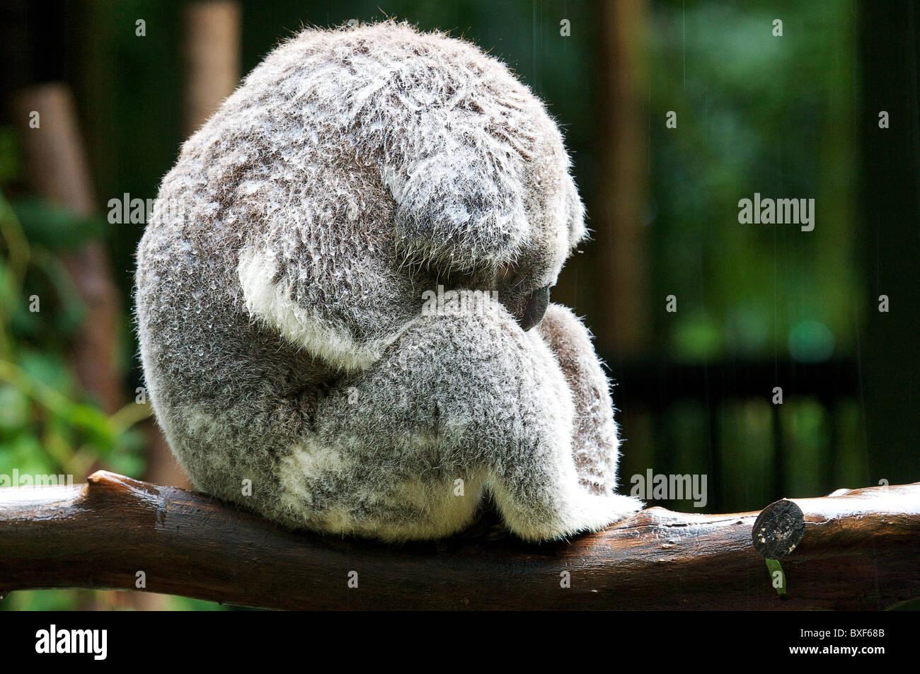 Un Koala muy húmedo duerme en la ducha de lluvia. Imagen De Stock