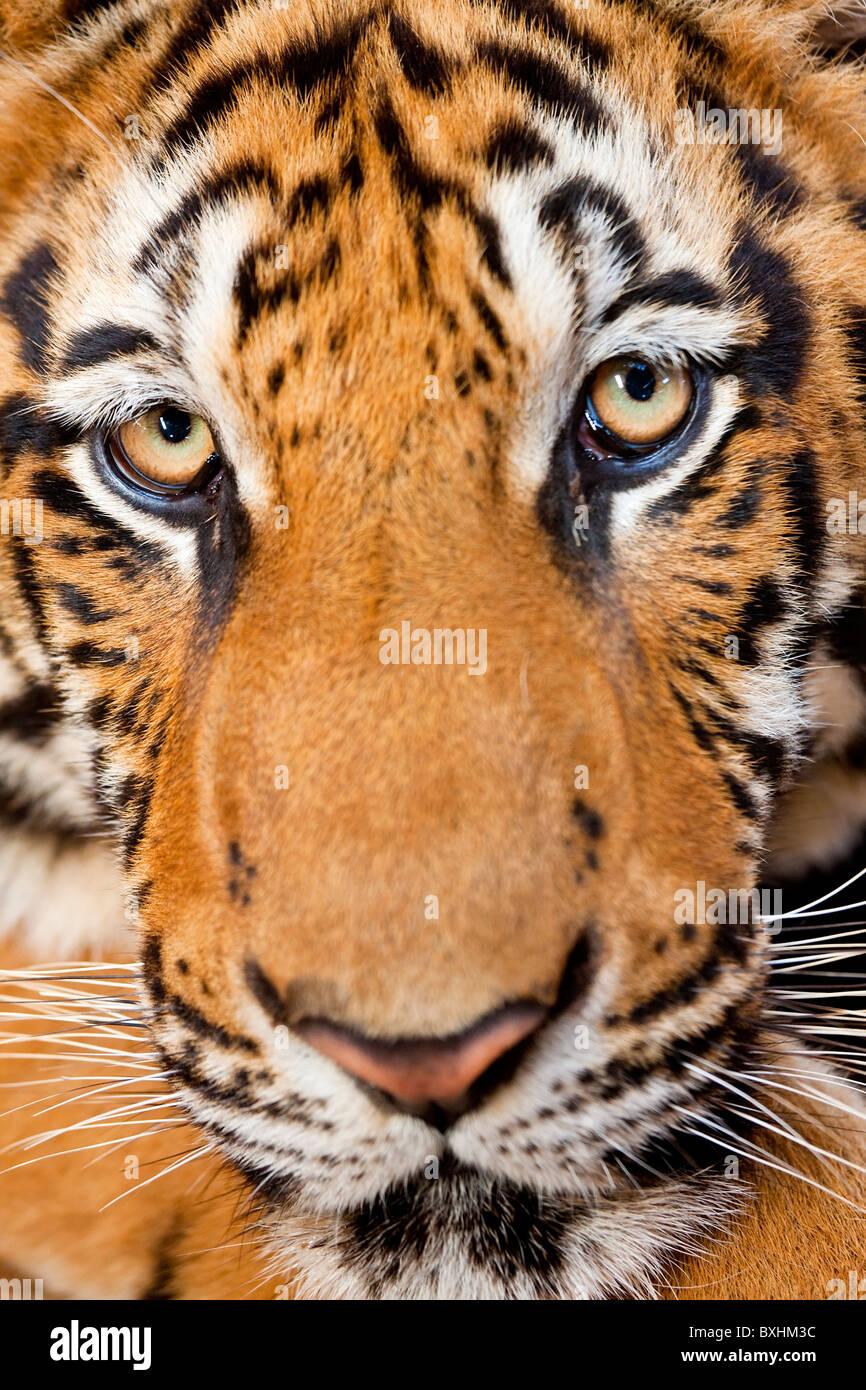 Retrato, tigre Indochino o Corbett es el tigre (Panthera tigris corbetti), Tailandia Imagen De Stock