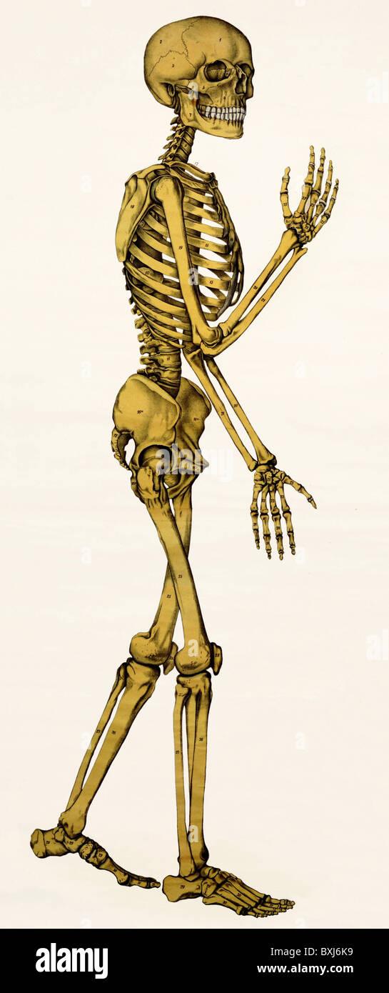 La medicina, la anatomía, el esqueleto humano, Alemania, circa 1910 ...
