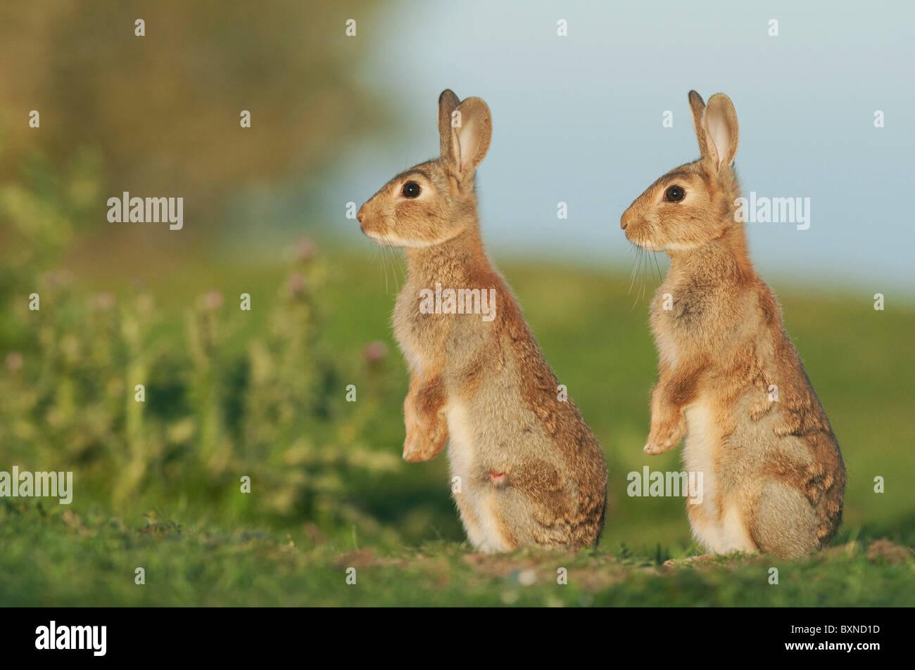 Conejo europeo (Oryctolagus cuniculus). Dos jóvenes alerta en la noche la luz del sol, en el Norte de Kent, Imagen De Stock