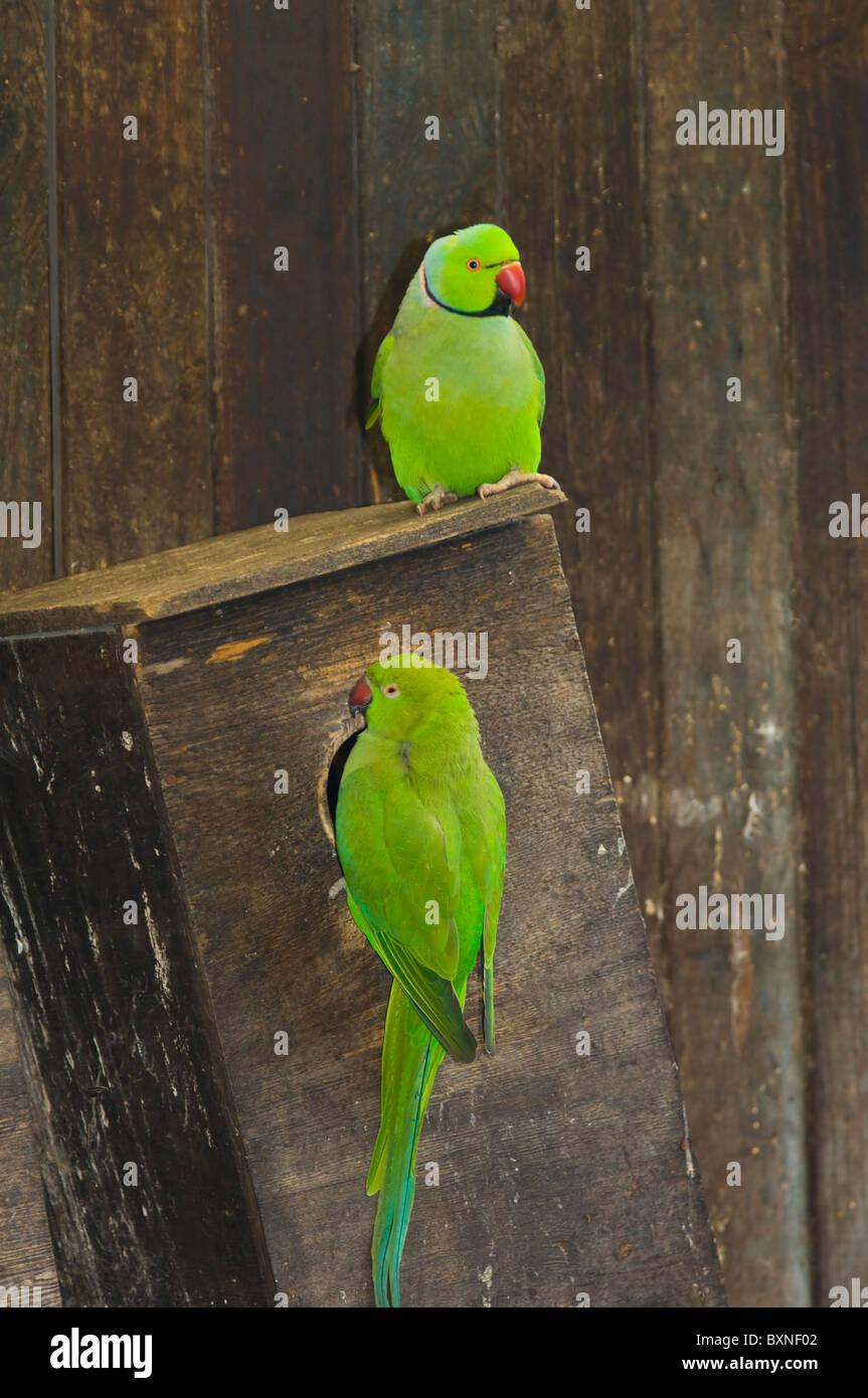 Indian Ringneck periquito Psittacula krameri manillensis Mundo de aves cautivas Cape Town South Africa Imagen De Stock